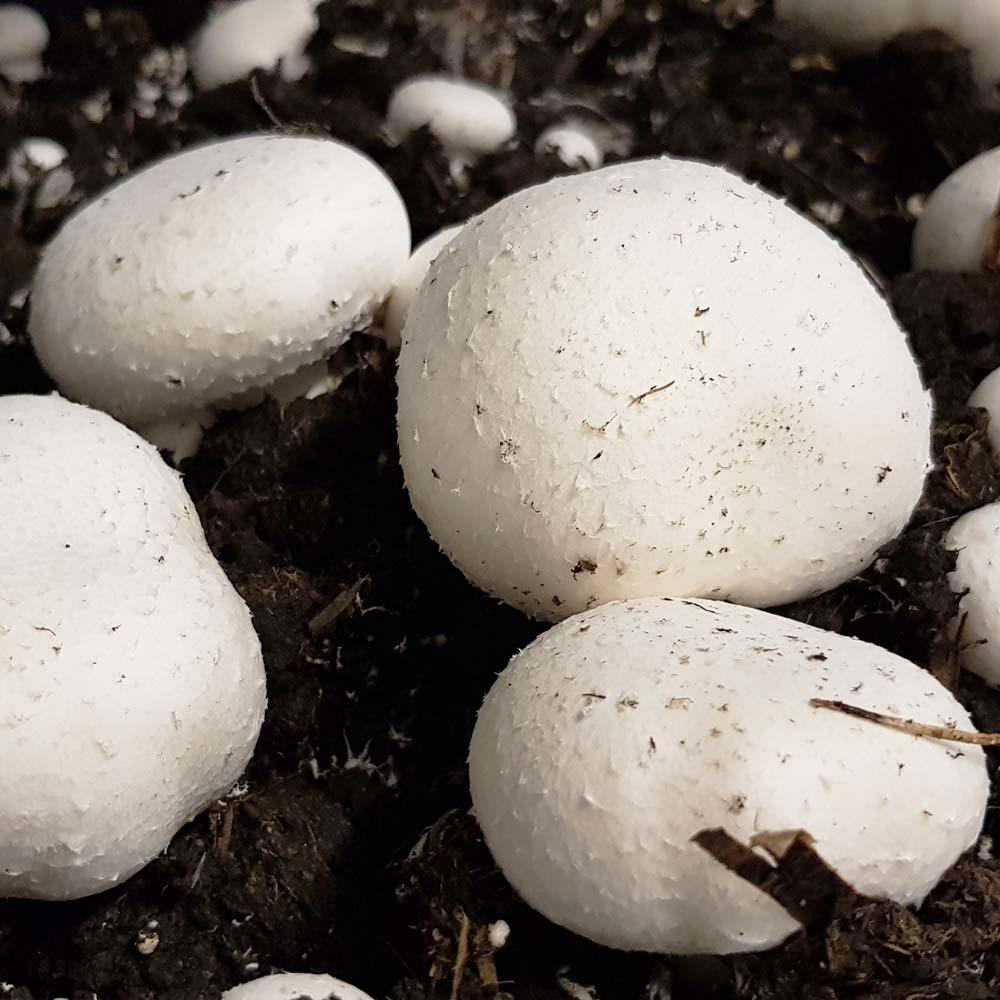 Macchinari per fungaie coltivazione champignon